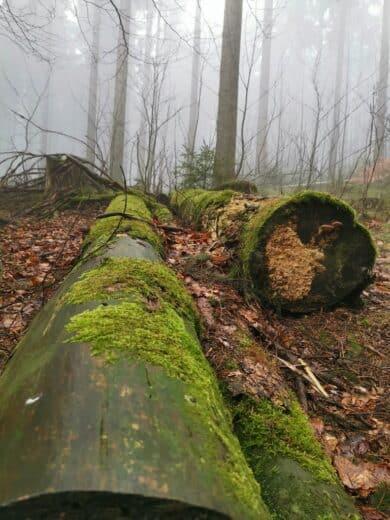 Schön moosiger Baum im Wald bei der Wanderung am Abend