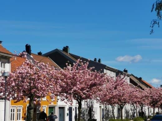 Kirschbäume in der Altstadt von Kristiansand