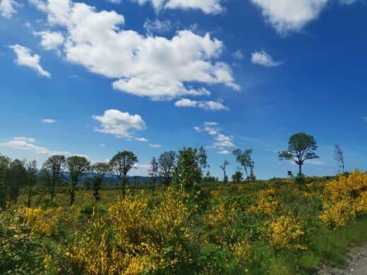 Ginster und strahlend blauer Himmel auf der Dill-Bergtour, eine weitere Rothaarsteigspur