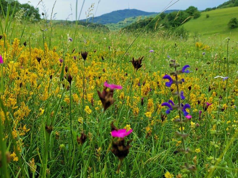 Blumenwiese auf dem Kaiserstuhlpfad
