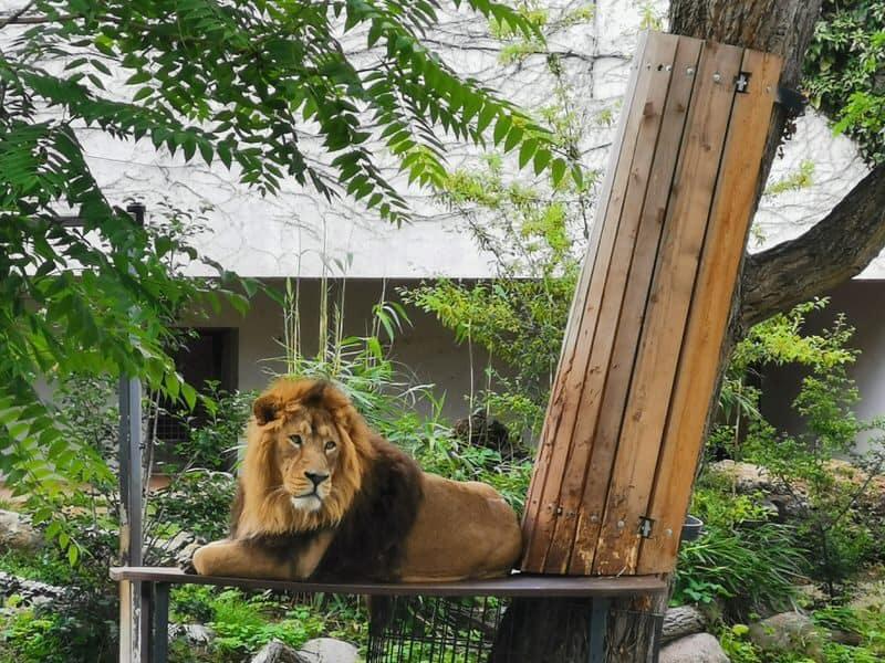 Löwe in der Wilhelma Stuttgart
