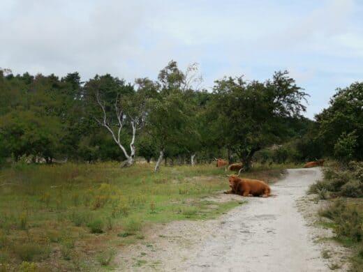 Und auf einmal liegt ein Highland Rind mitten auf unserem Weg...