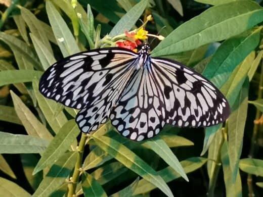 Einer der zahlreichen Schmetterlinge im Palmenhaus Wien
