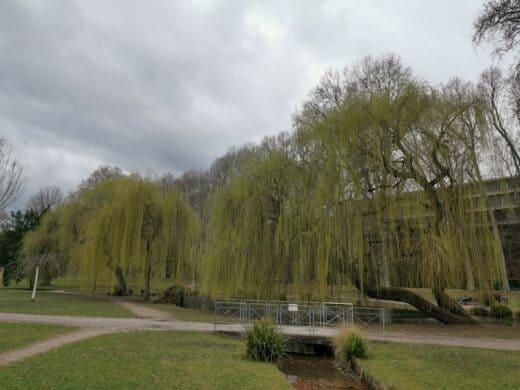 Weiden im Unteren Schlossgarten in Stuttgart