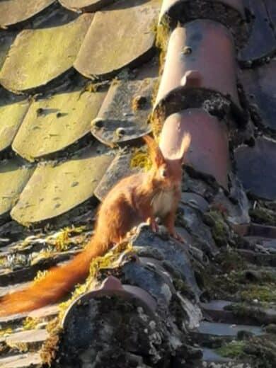 Eichhörnchen mit 30-fachen Zoom