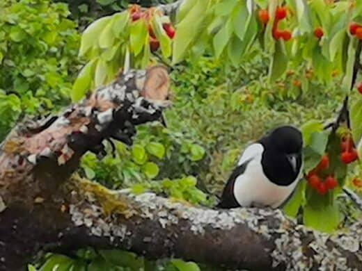 Elster auf dem Kirschbaum