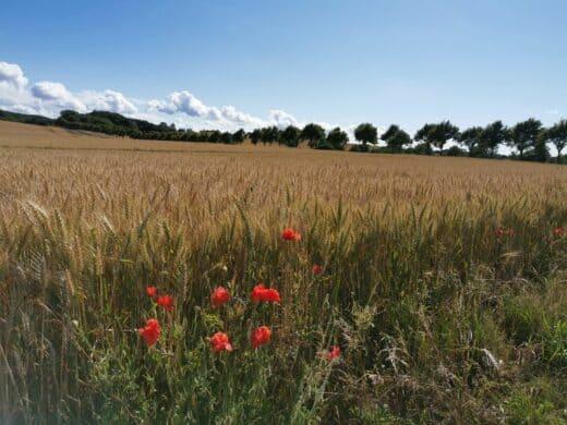 Getreidefeld am Ende/Anfang unseres Weges mit einer schönen Allee im Hintergrund