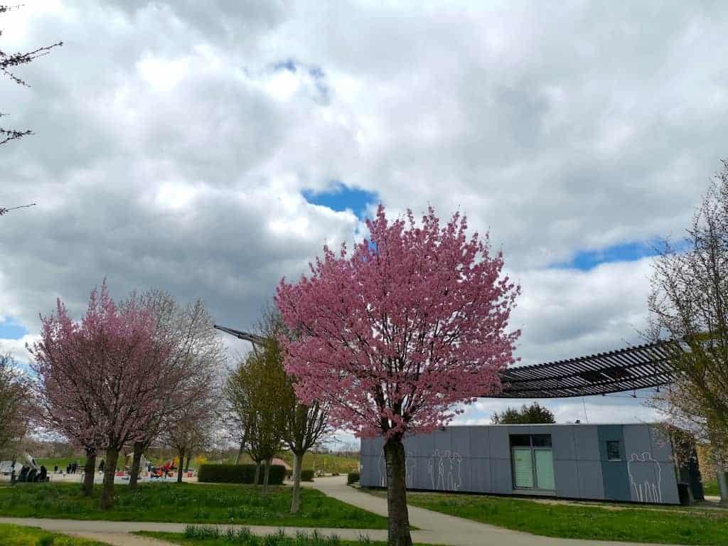 Kirschbäume am Hubschrauber Spielplatz Scharnhausen