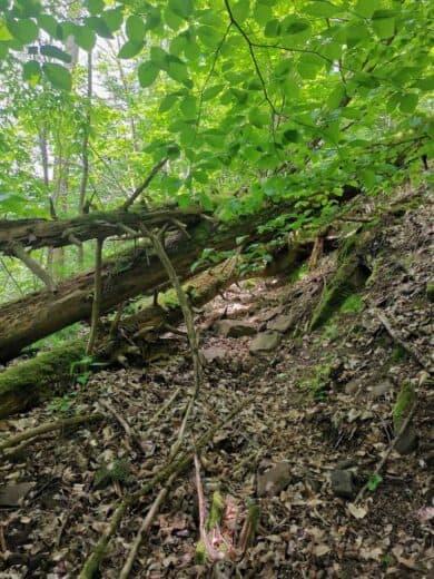 So sah es häufiger auf unserer Wanderung aus - quer über Baumstämme kraxeln musste ich; oder drunter durch