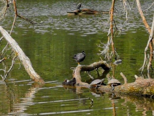 Schildkröten und andere Tiere am Pfaffensee