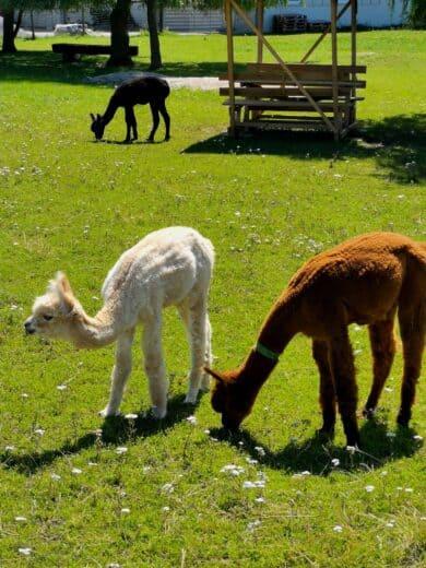 Alpakas auf der Alpakafarm  Schaber